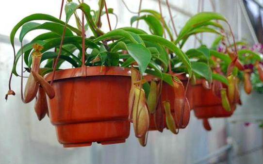 Цветения для комнатных растений